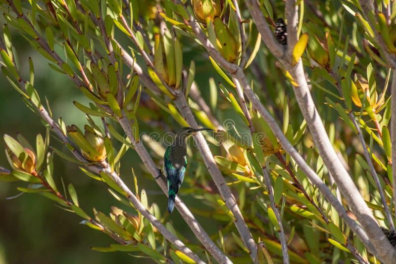 Malachite sunbird or Nectarinia famosa. Malachite sunbird, Nectarinia famosa, sitting on green plant branch, looking right stock photos