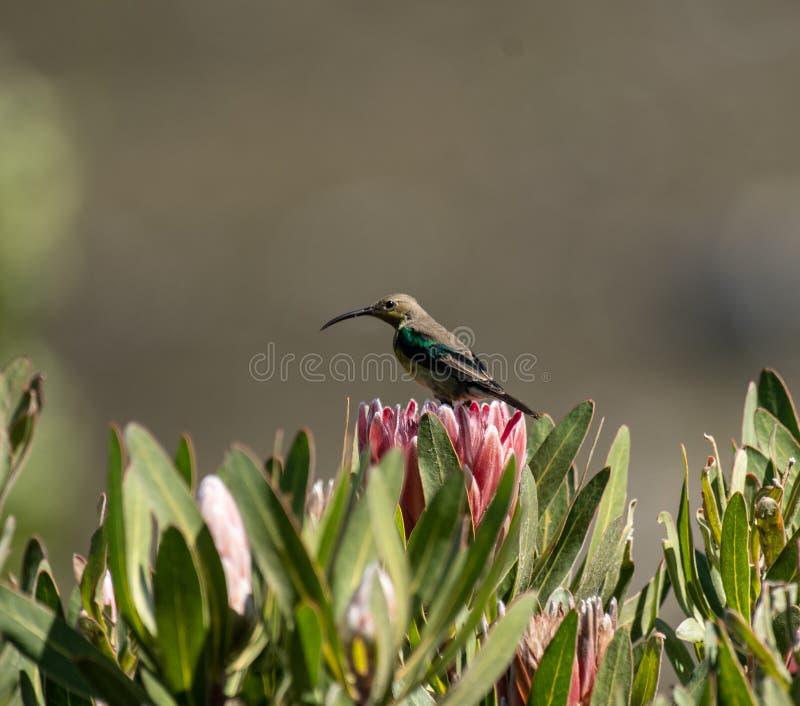 Malachite sunbird or Nectarinia famosa. Malachite sunbird, Nectarinia famosa, sitting on king protea looking left royalty free stock image