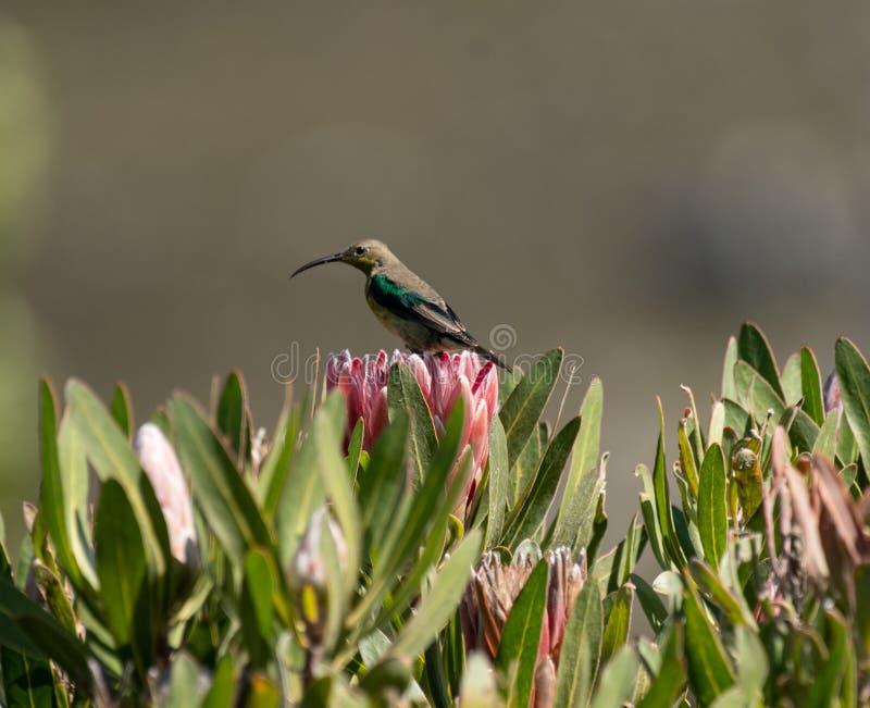 Malachite sunbird or Nectarinia famosa. Malachite sunbird, Nectarinia famosa, sitting on king protea looking left stock photo