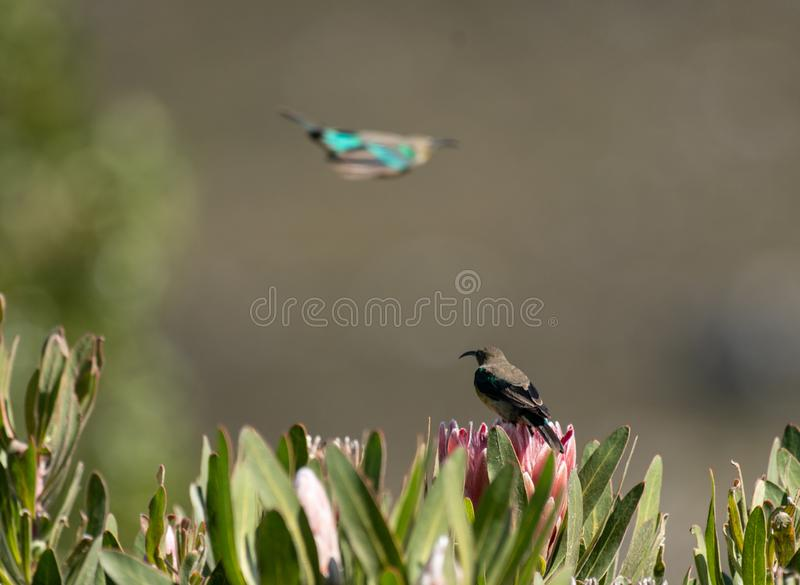Malachite sunbird or Nectarinia famosa. Malachite sunbird, Nectarinia famosa, sitting on king protea looking left and another Malachite in background flying away royalty free stock photography