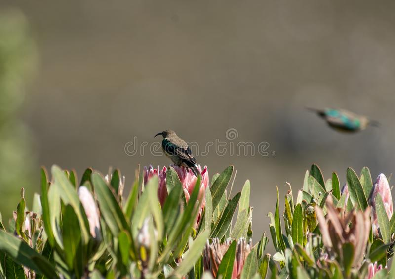 Malachite sunbird or Nectarinia famosa. Malachite sunbird, Nectarinia famosa, sitting on king protea looking left and another Malachite in background flying away stock images