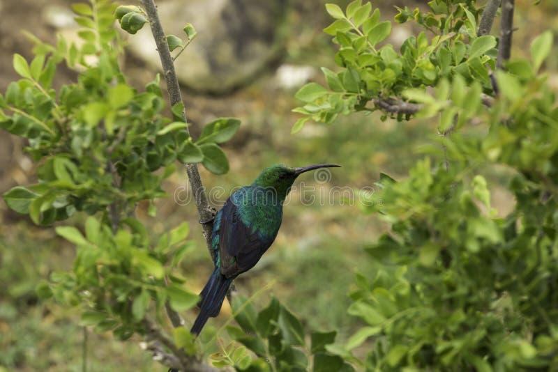 Malachite sunbird Nectarinia famosa. Malachite sunbird perched branch outside royalty free stock images