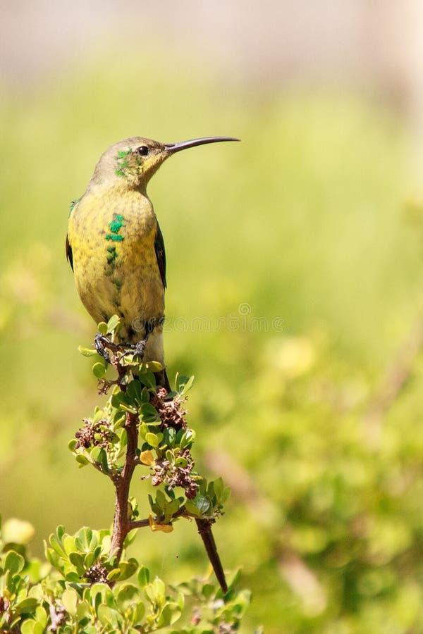 Malachite sunbird. The  Nectarinia famosa is a small nectivorous bird royalty free stock images