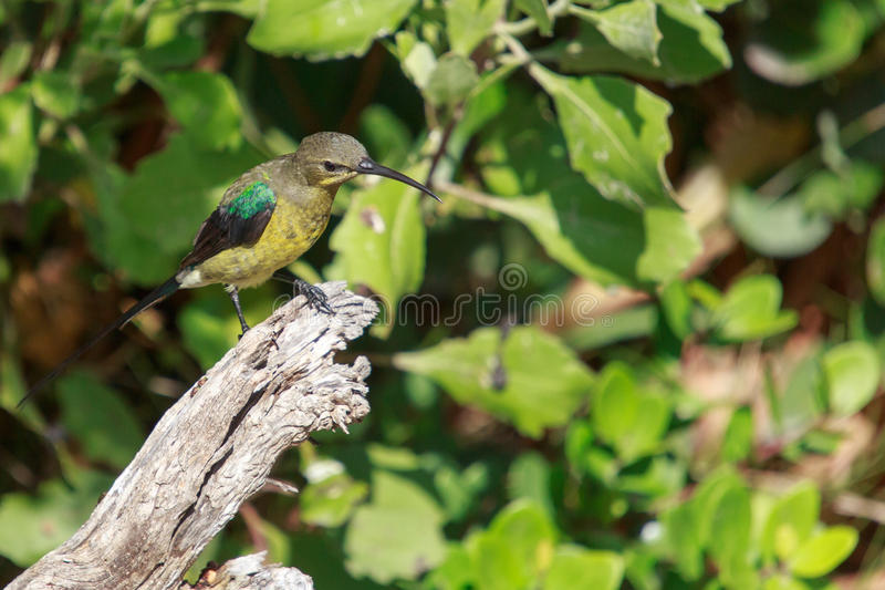 Malachite Sunbird. The  Nectarinia famosa is a small nectivorous bird royalty free stock image