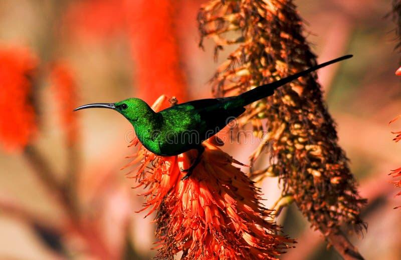 Colourful sunbird. Malachite sunbird on an orange flowering aloe ferox plant in the Addo area of South Africa stock photography