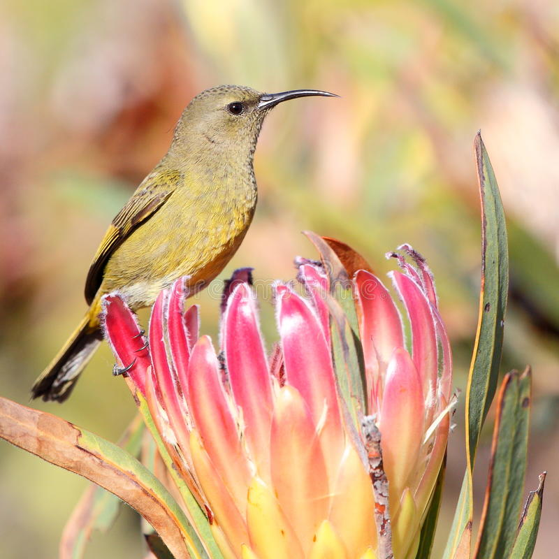 Malachite Sunbird on Protea. A female Malachite sunbird photographed in South Africa royalty free stock photography