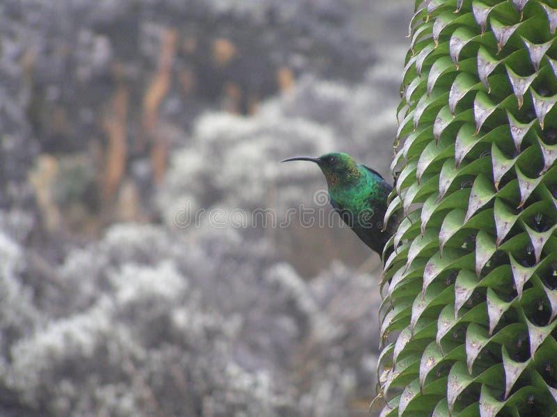 Malachite Sunbird sur la lobélie géante, Mt Kilimanjaro photos libres de droits
