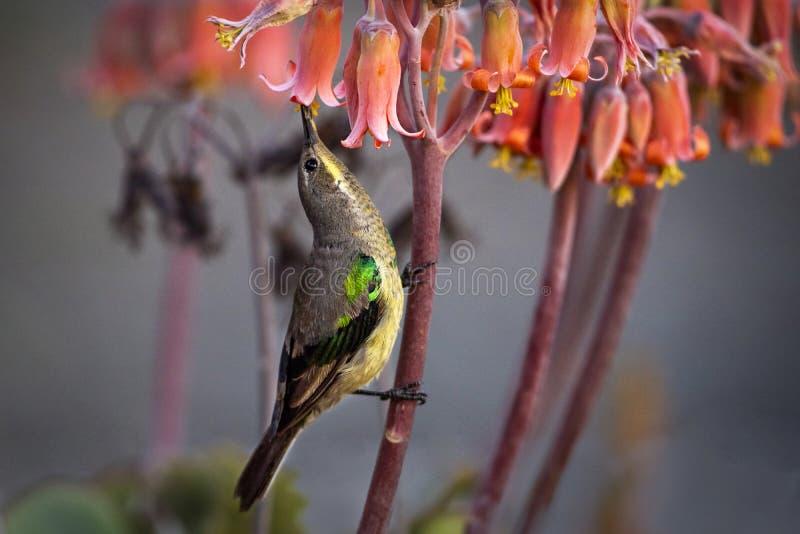 Malachite Sunbird (Nectarinia famosa). Female Malachite Sunbird, Nectarinia famosa as seen in Bloemfontein stock image