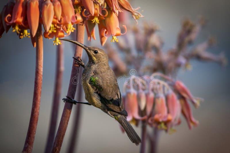 Malachite Sunbird (Nectarinia famosa). Malachite Sunbird Nectarinia famosa seen in Bloemfontein stock image