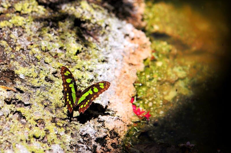 Malachitowy motyl (górna strona) fotografia stock
