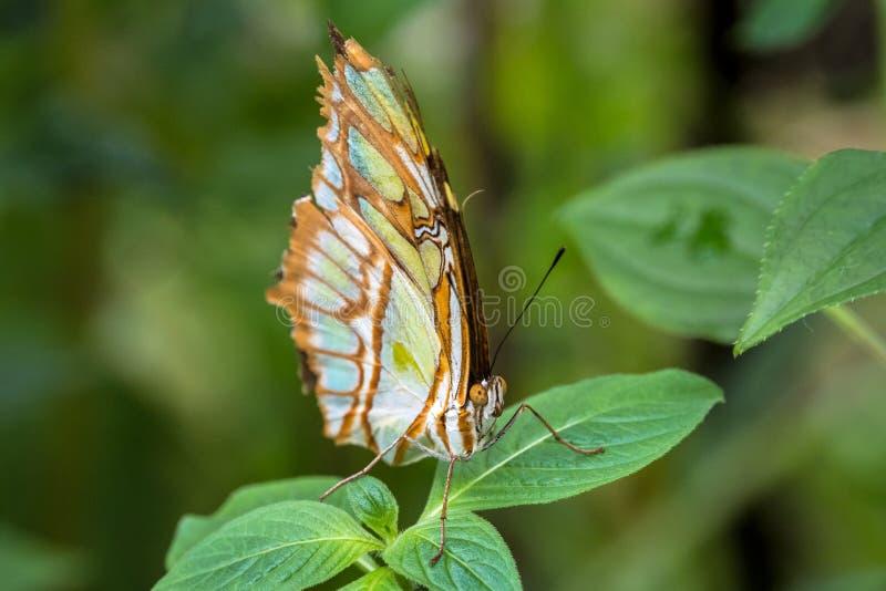 Malachitowy motyl, Siproeta stelenes jest neotropical footed motylem obraz stock