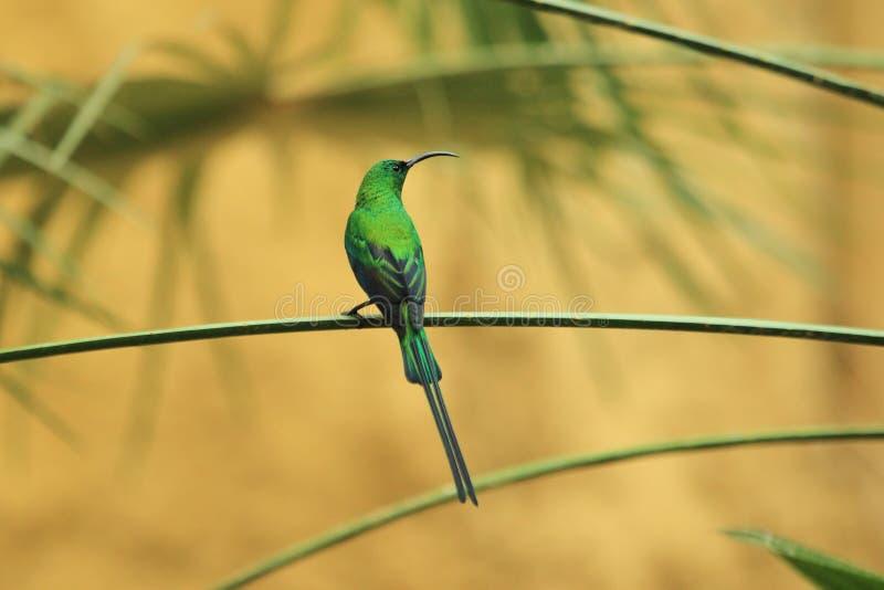 Malachitowy Sunbird zdjęcia royalty free