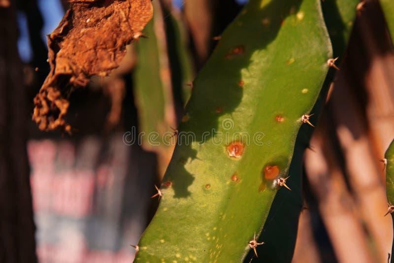 Maladie végétale, la maladie de fruit du dragon des champignons image libre de droits