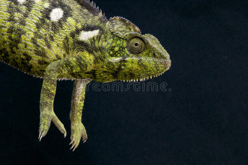Malagasy Giant Chameleon / Furcifer Oustaleti Royalty Free Stock Photos