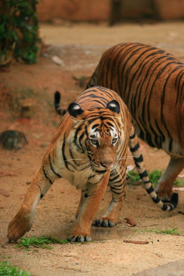 Malaiischer Tiger auf-d-verschieben stockfotografie