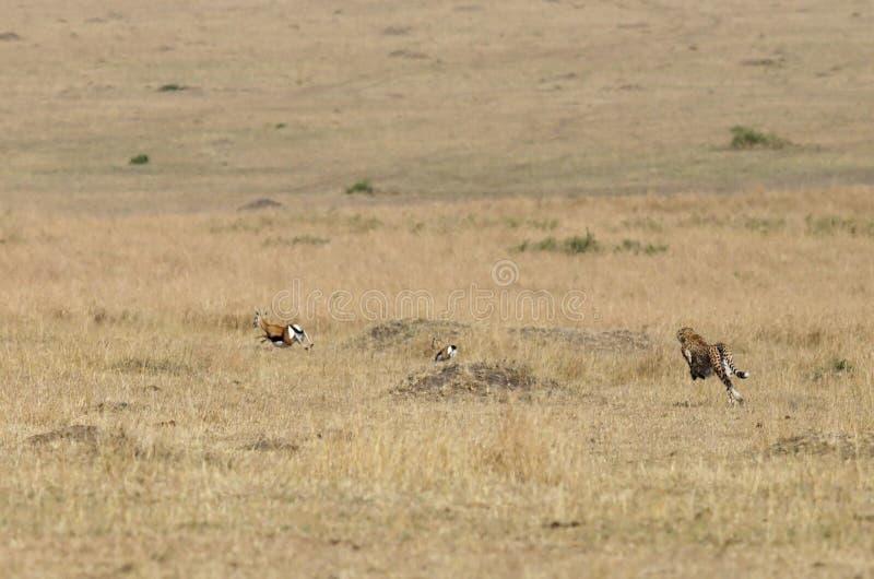 Malaika gepard som jagar Thomson Gazelles arkivbild