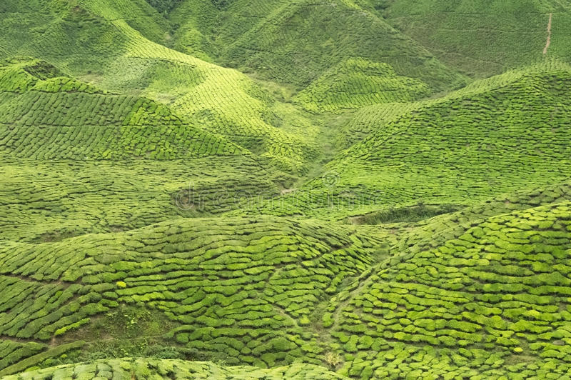 Malaio Cameron Highlands coberto por plantações de chá fotos de stock royalty free