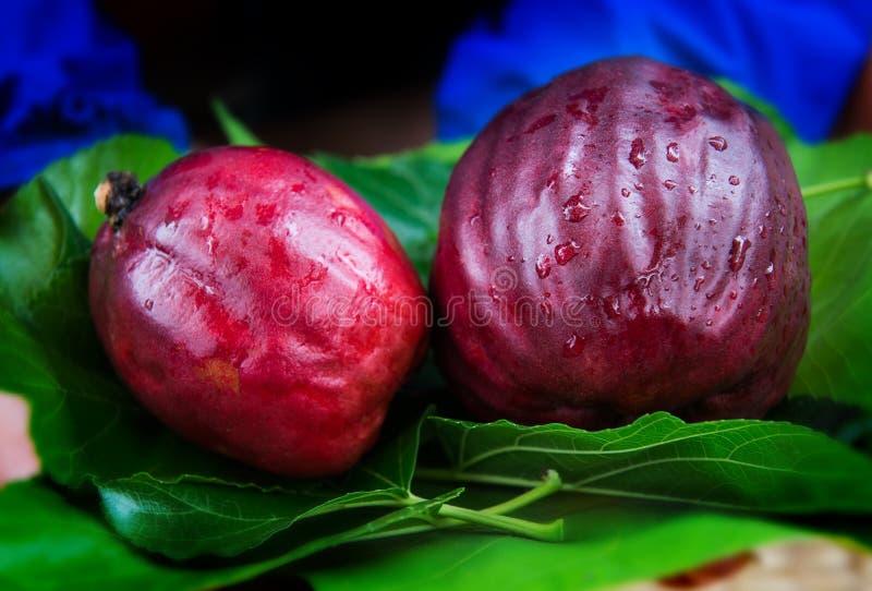 Malajski jabłko zbierający od rolnictwa gospodarstwa rolnego obrazy stock