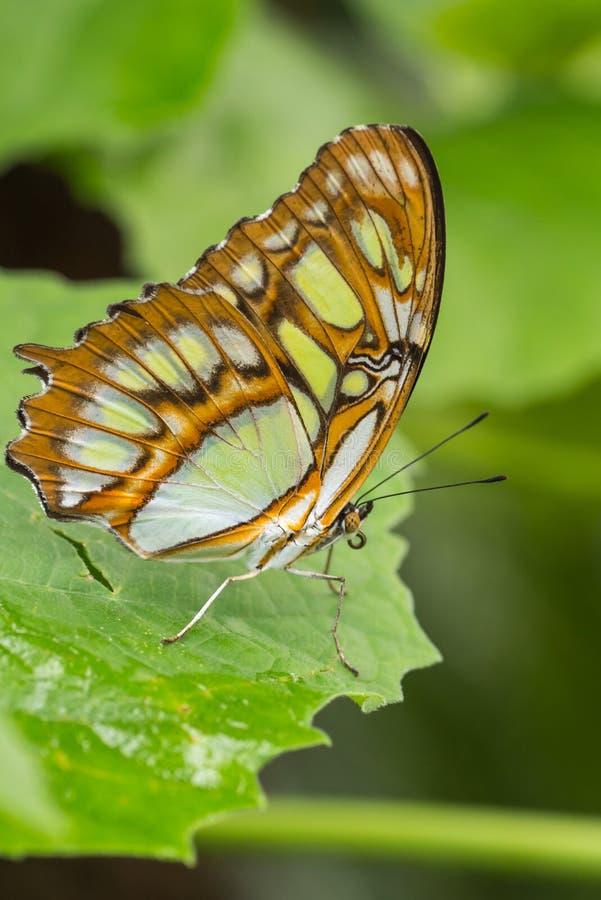 Malakitfjäril på gröna växter royaltyfria bilder