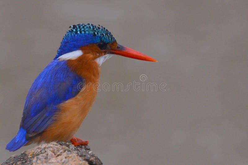 Malakitkungsfiskare (Alcedocristata) i den Kruger nationalparken royaltyfria foton