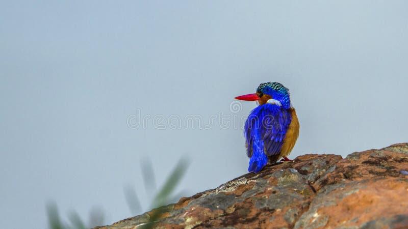 Malakitkungsfiskare i den Kruger nationalparken, Sydafrika fotografering för bildbyråer