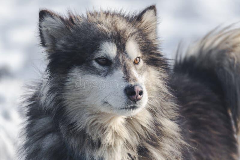 malamute foto de archivo libre de regalías