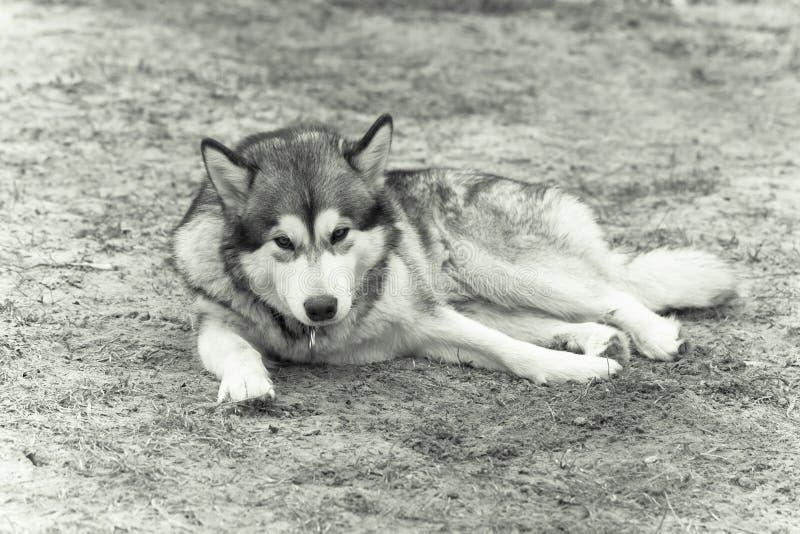 Malamute d'Alasca che si trova sulla terra sciolta fotografia stock libera da diritti