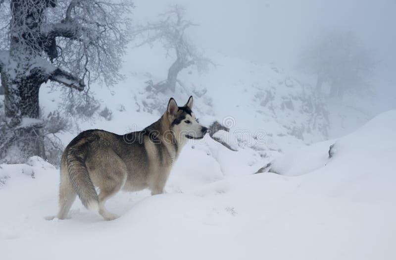 Malamute d'Alasca in un bello paesaggio nevoso immagine stock libera da diritti