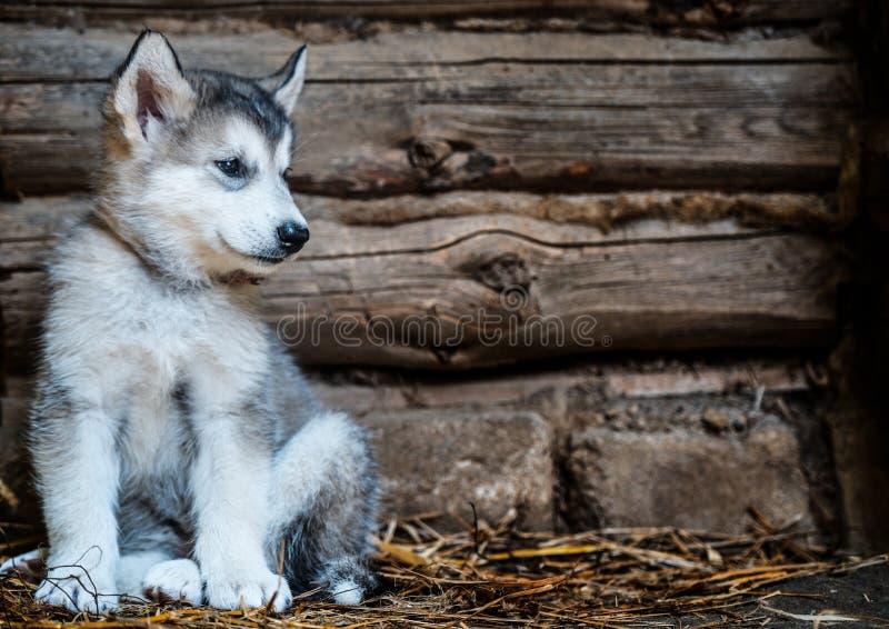 Malamute de Alaska del perrito lindo fotografía de archivo