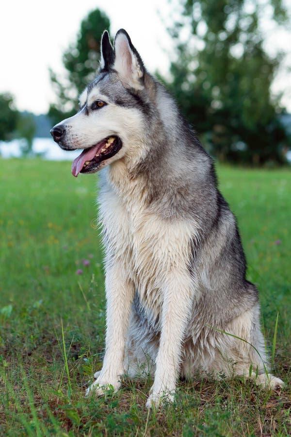 Malamute de Alaska del perro mullido, adulto que se sienta en naturaleza imagenes de archivo
