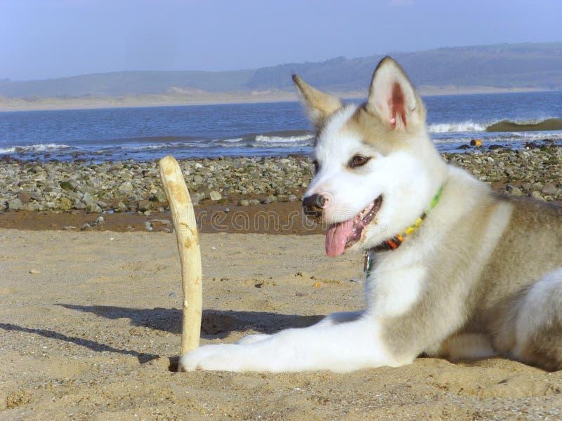 Malamute de Alaska en la playa fotografía de archivo