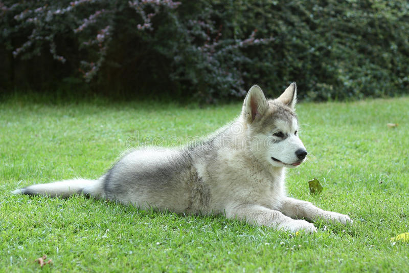 Malamute de Alaska - perrito fotografía de archivo libre de regalías
