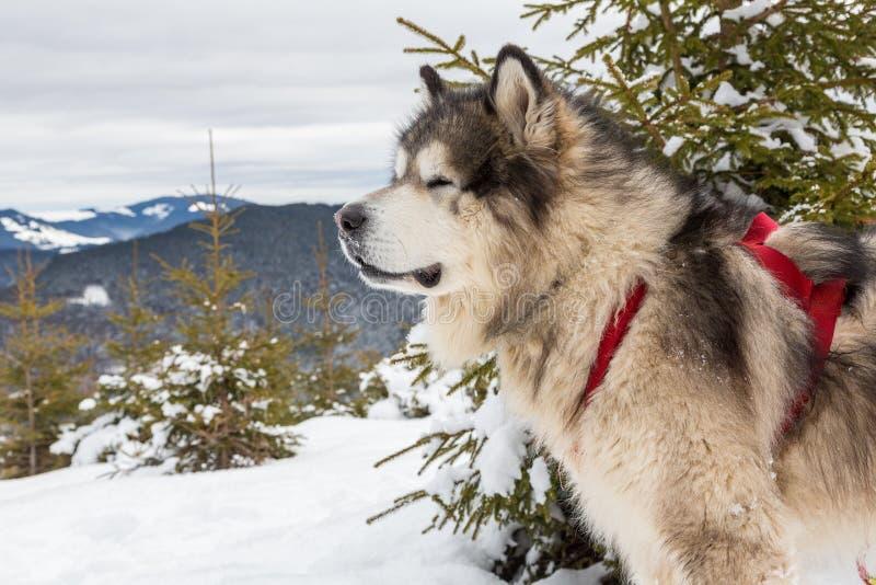 Malamute in den Winterbergen stockfotos