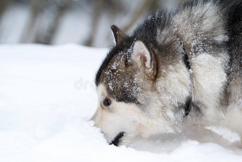 Download Malamute dog stock photo. Image of forest, white, husky - 28564484