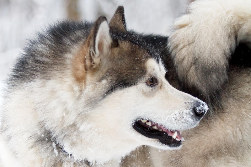 Download Malamute dog stock photo. Image of white, winter, forest - 28564878