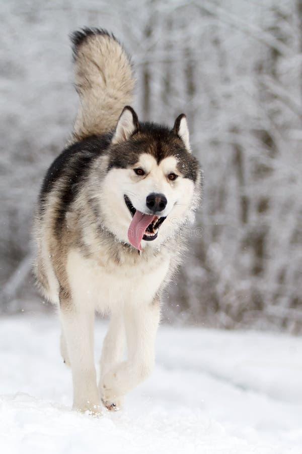 Download Malamute dog stock photo. Image of husky, snow, white - 28564994