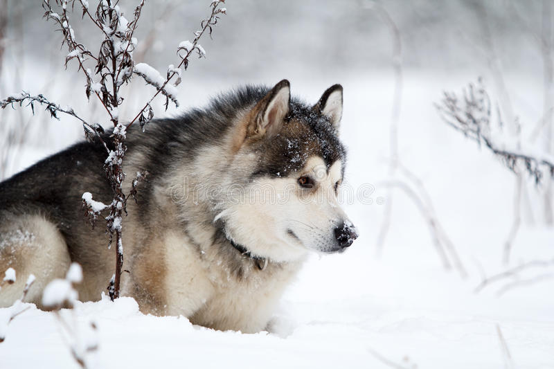 Download Malamute dog stock photo. Image of nature, husky, forest - 28565268