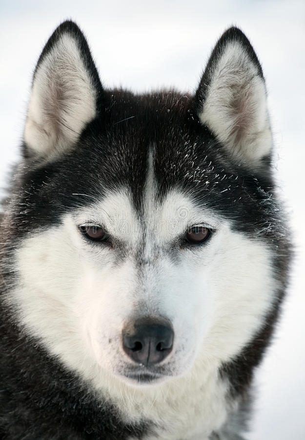 Malamute dog portrait royalty free stock photos