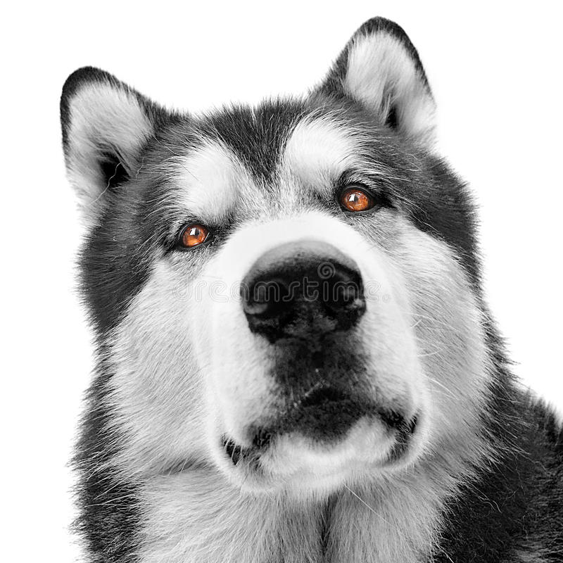 Download Malamute dog portrait stock image. Image of piercing - 26913543