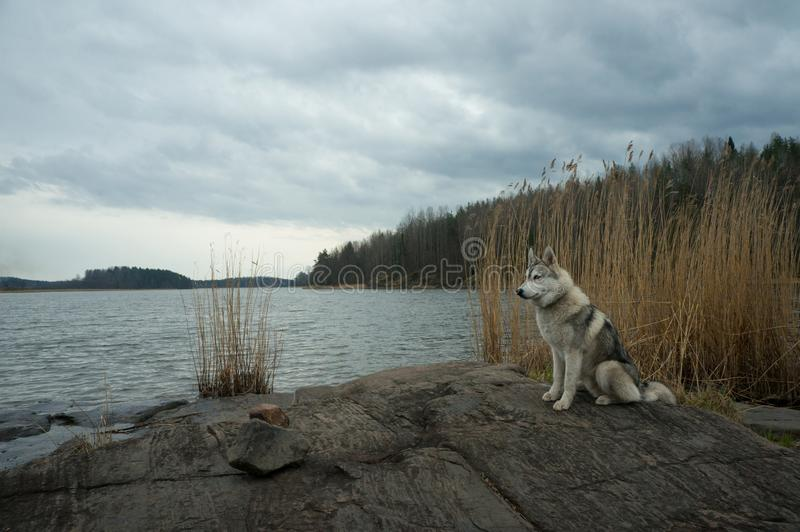 Malamute dog standing on lake rocky shore against water, Karelian Isthmus,. Russian Federation stock photos