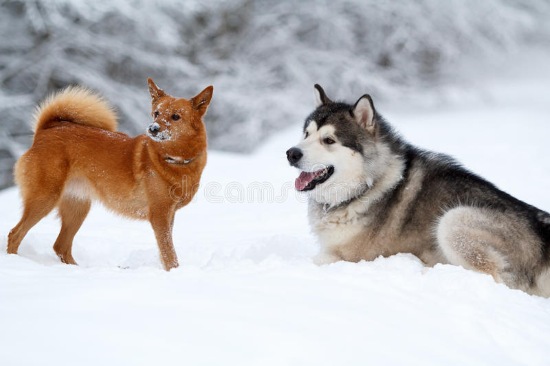 Download Malamute and eskimo dog stock image. Image of eskimo - 28564235