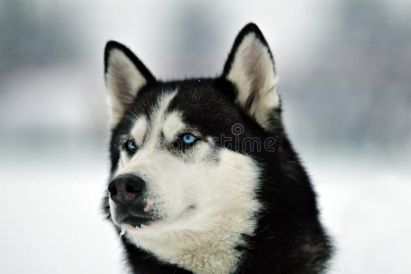 Malamute im Winter lizenzfreie stockfotografie