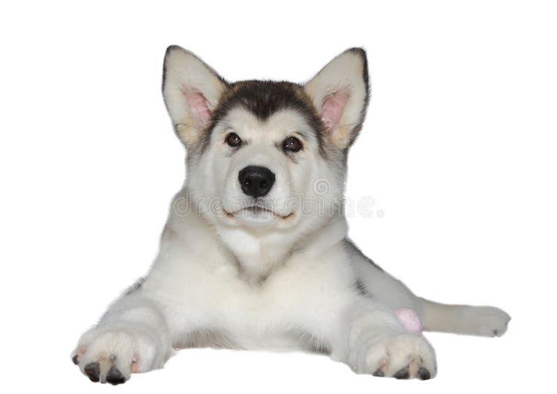 Malamute puppy dog royalty free stock photo