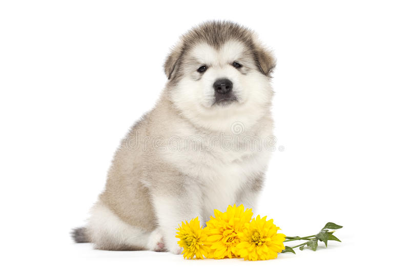 Malamute puppy with yellow flowers. One month old alaskan malamute puppy with yellow flowers stock photography