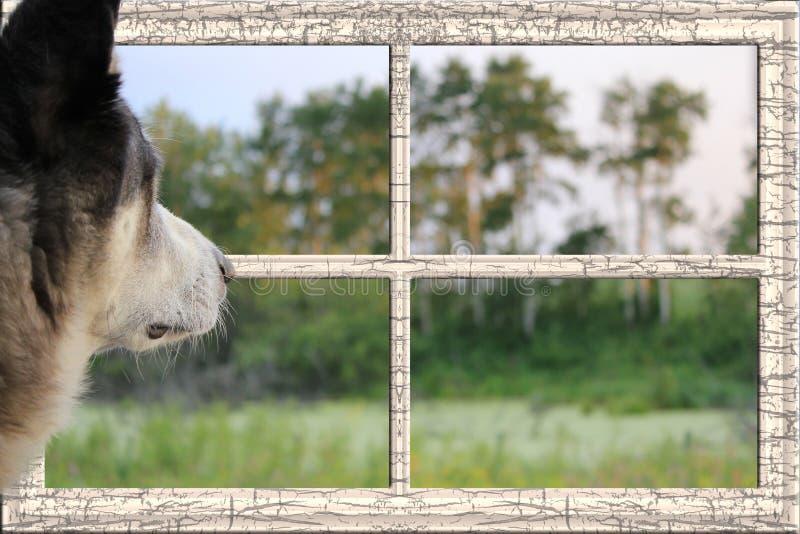 Malamutehond die uit een venster een weide bekijken stock afbeelding