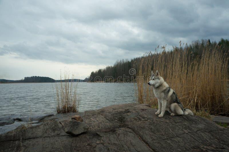malamutehundanseende på stenig kust för sjö mot vatten, Karelian näs, arkivfoton