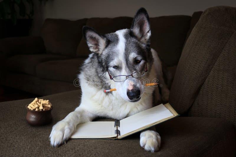 Malamutehundelesung mit einem Bleistift in seinem Mund auf einem Sofa stockbilder
