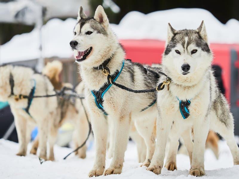 Malamutes do Alasca na competição do sleddog fotografia de stock