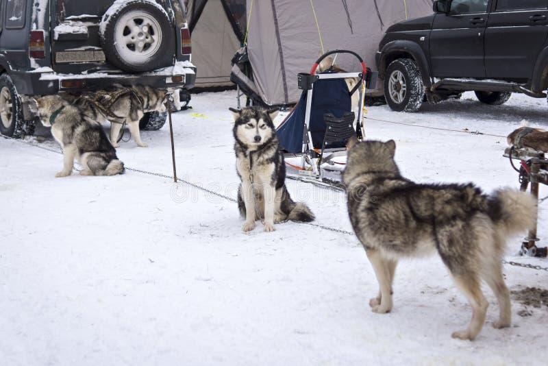 Malamutes som väntar på hunden, springer på etapp av världscupen i Karelia royaltyfri fotografi