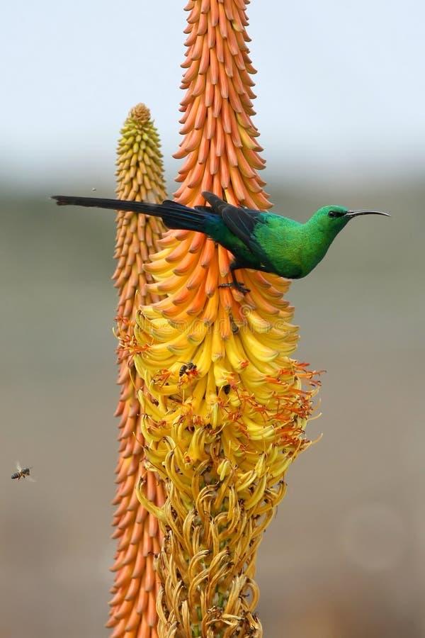 Malaquita Sunbird y abejas imagen de archivo